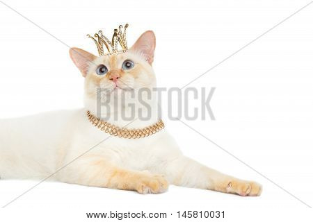 Close-up Fantastic Breed Mekong Bobtail King Cat with Blue eyes and Crown on Head, Isolated White Background, Color-point Fur