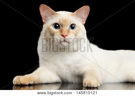 Close-up Fantastic Breed Mekong Bobtail Male Cat with Blue eyes, Lying Isolated Black Background, Color-point Fur