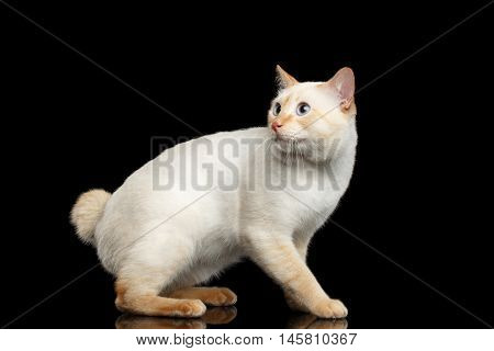 Fantastic Breed Mekong Bobtail Male Cat with Blue eyes, Sits and Curious Looking up, Isolated Black Background, Color-point Fur without Tail