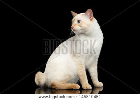 Fantastic Breed Mekong Bobtail Male Cat with Blue eyes, Sits and Curious Looking, Isolated Black Background, Color-point Fur without Tail