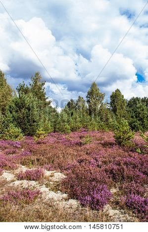 Beautiful heather in the autumn forest landscape, Poland