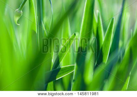 The green grass soft focus macro photo. Shallow DOF.