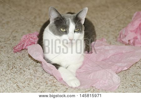 Cute small grey and white cat laying down on pink tissue paper indoors on the carpet.