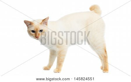 Funny Breed Mekong Bobtail Cat Blue eyed, Standing and raised tail, Isolated White Background, Color-point Fur