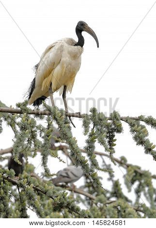 sacred ibis nile perched on top of a tree
