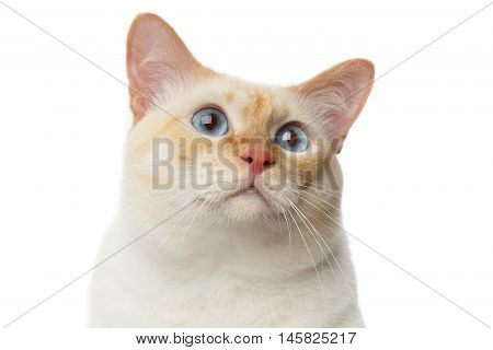 Close-up portrait of Funny Breed Mekong Bobtail Cat Blue eyed, Isolated White Background, Color-point Fur