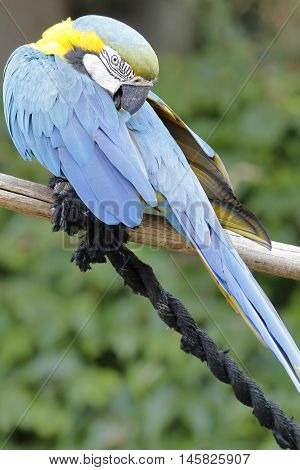 a macaw ara parrot perched on a branch adjusts its feathers