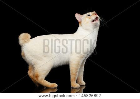 Curious Breed Mekong Bobtail Cat Blue eyed, Standing and Looking up with opened mouth, Isolated Black Background, Color-point Fur, without tail, asking food
