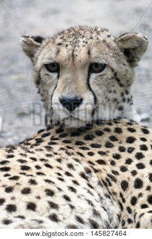 a cheetah lying on the ground watching his territory
