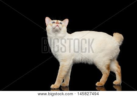 Adorable Breed Mekong Bobtail Cat, Standing and Looking up, Isolated Black Background, Color-point Fur, Side view, Raising Head
