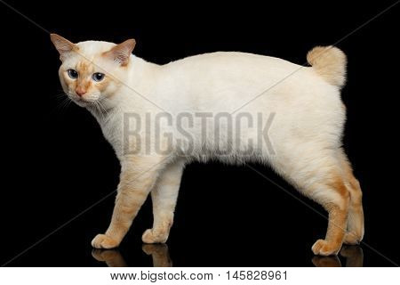 Curious Breed Mekong Bobtail Cat Blue eyed, Standing and Looking sad, Isolated Black Background, Color-point Fur, without tail