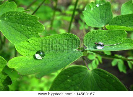 Sheet aquilegia or watershed (Aquilegia) family Ranunculaceae