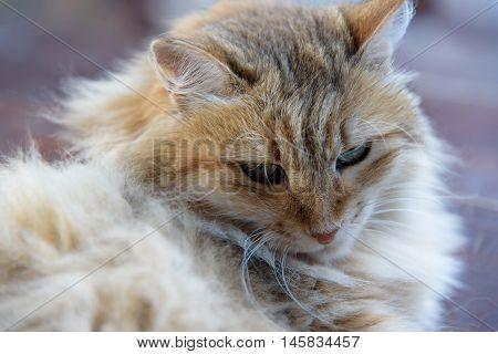 resting fluffy cat on wooden background, relaxing , elegant ledy-cat