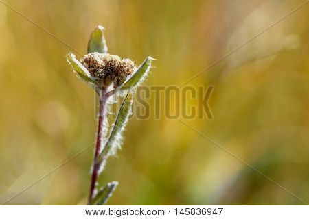 Beautiful floral background with delicate flower edelweiss on a blurred background of green grass in the mountains
