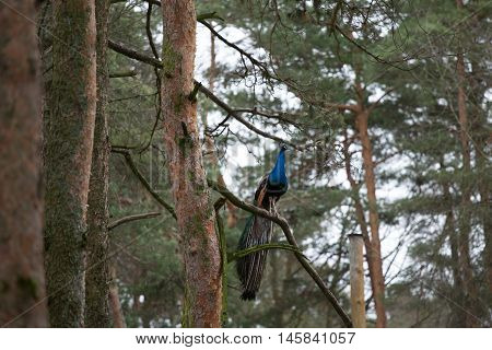 blue-green peafowl on a pine branch high in a tree
