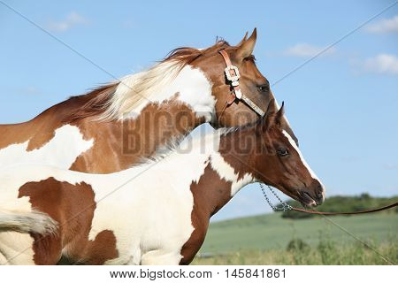 Paint Horse Mare With Its Foal