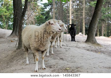 Sheep  On A Background Of The Forest