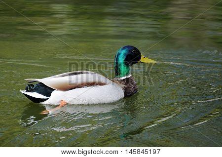 beautiful mallard duck in the water .