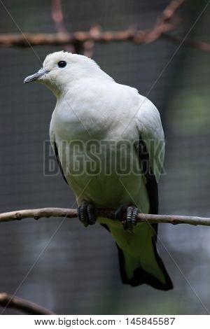 Pied imperial pigeon (Ducula bicolor). Wildlife animal.