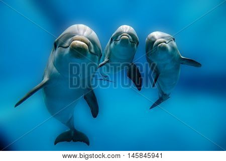 Three Dolphins Close Up Portrait Underwater While Looking At You