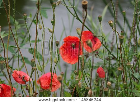 beautiful bright red poppies on a cloudy day