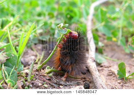 A very hungry and hairy caterpillar munching a clover leaf