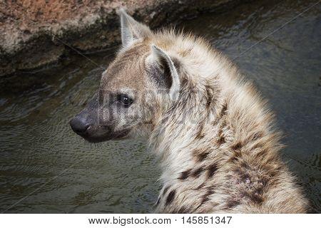 Wild Spotted Hyaena At Riverside