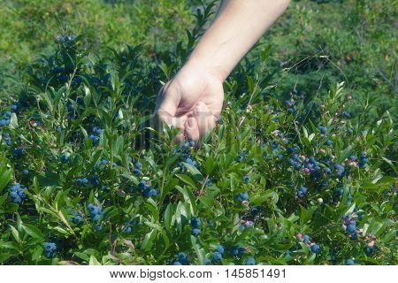 Blueberry picking in Cupid's Haven, Newfoundland and Labrador