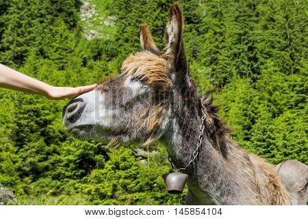 Boy hand caressing a beautiful donkey nose