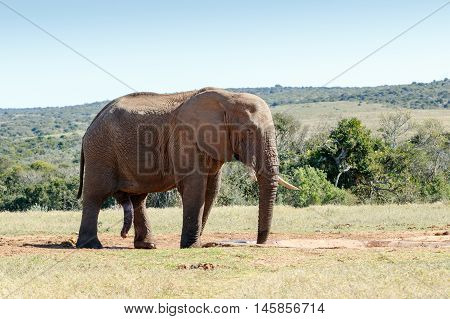 It Is All Hanging - African Bush Elephant