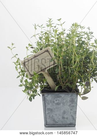 pot herb plant,thyme on the white background