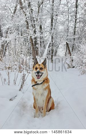 redhead dog sits on a a footpath in a winter snow-covered forest