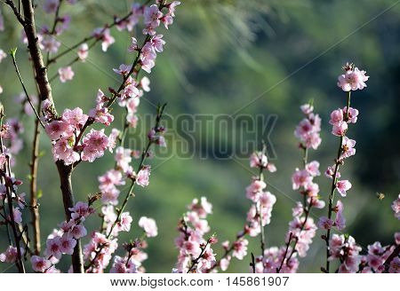 Cherry blossoms in soft afternoon light. Green background with copy space.