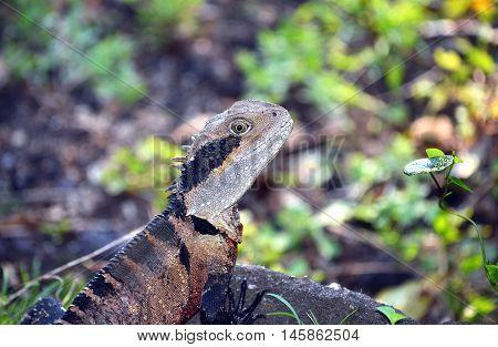 Australian Eastern Water Dragon (Itellagama lesueurii) in Sydney bushland, Royal National Park, Australia