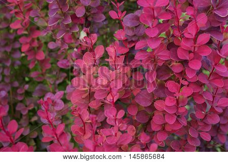 Red bright Barberry branch in autumn autumn background