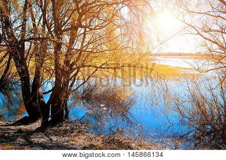 Sunny autumn landscape- yellowed autumn willow under sunshine on river bank at autumn sunset. Autumn rural landscape with picturesque autumn nature and autumn trees near river. Autumn landscape view.