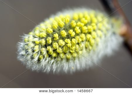 Willow Catkin Close-Up