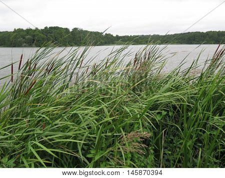 Bull Rushes On Lakeside