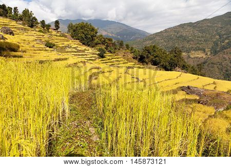 golden terraced rice field in Solukhumbu valley Nepal