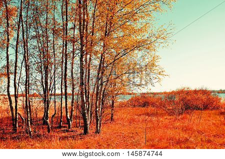 Colorful autumn landscape with autumn birch forest in autumn sunny weather. Autumn rural landscape with autumn yellowed birches under sunlight. Landscape autumn natural view of autumn nature.