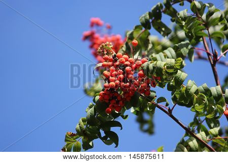 red bunch of rowan on the blue sky