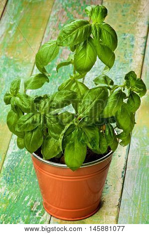 Fresh Green Lush Foliage Basil with Water Drops in Orange Flower Pot closeup on Cracked Wooden background