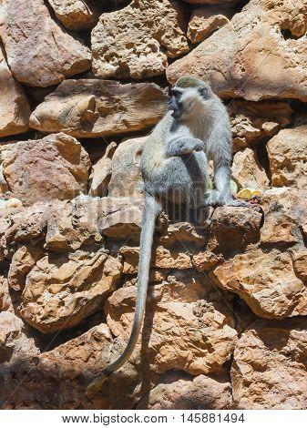 Chlorocebus Aetniops Sitting On A Rock