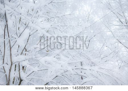 Christmas background with snowy fir trees landscape. Fir branches covered with snow against winter forest.