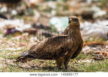 Black kite standing and staring. Birds of prey
