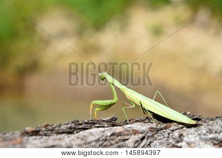 Green mantis is sitting on wood and looks into the distance. Mantis religiosa.