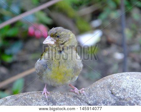 Greenfinch perched on the edge of a birdbath