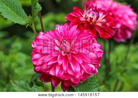 Beautiful pink dahlia flower with green leaves.