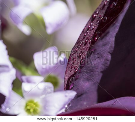 macro shot of some wet lilac flowers