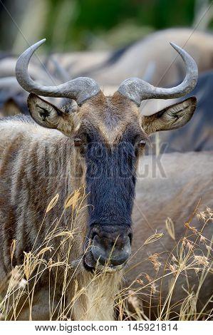 Wildebeest In National Park Of Africa